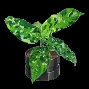 Aglaonema pictum tricolor