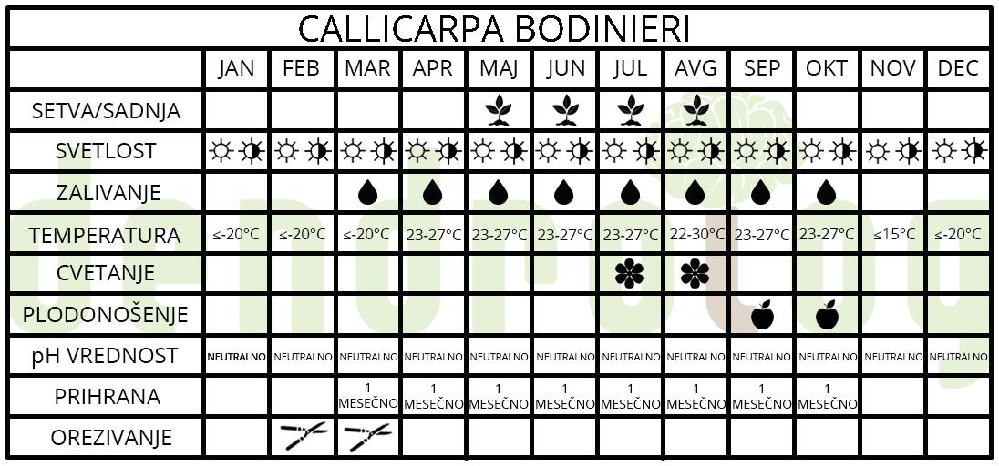Callicarpa