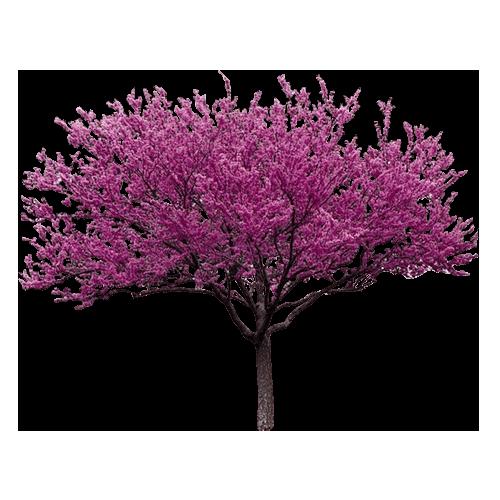 Judino-drvo-cercis-siliquastrum-dendrolog