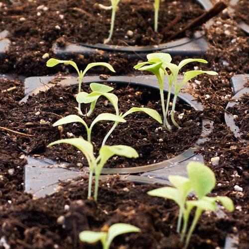 Kada je najbolje vreme za prihranu tek proklijalih biljaka? Dendrolog