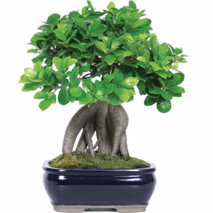 Ficus microcarpa dendrolog