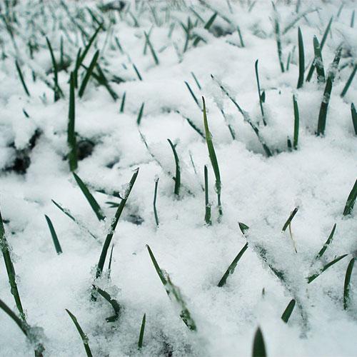 Zimska šteta travnjaka dendrolog