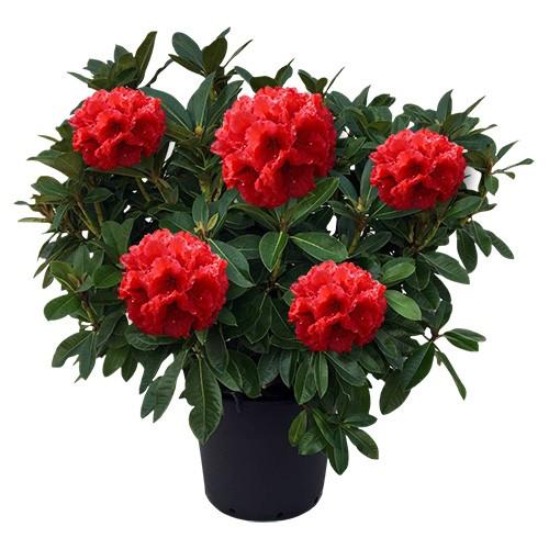 Rhododendron red jack dendrolog