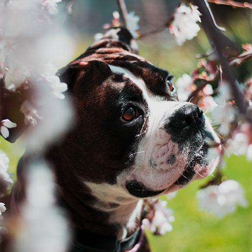 Vrtne biljke toksične za pse dendrolog