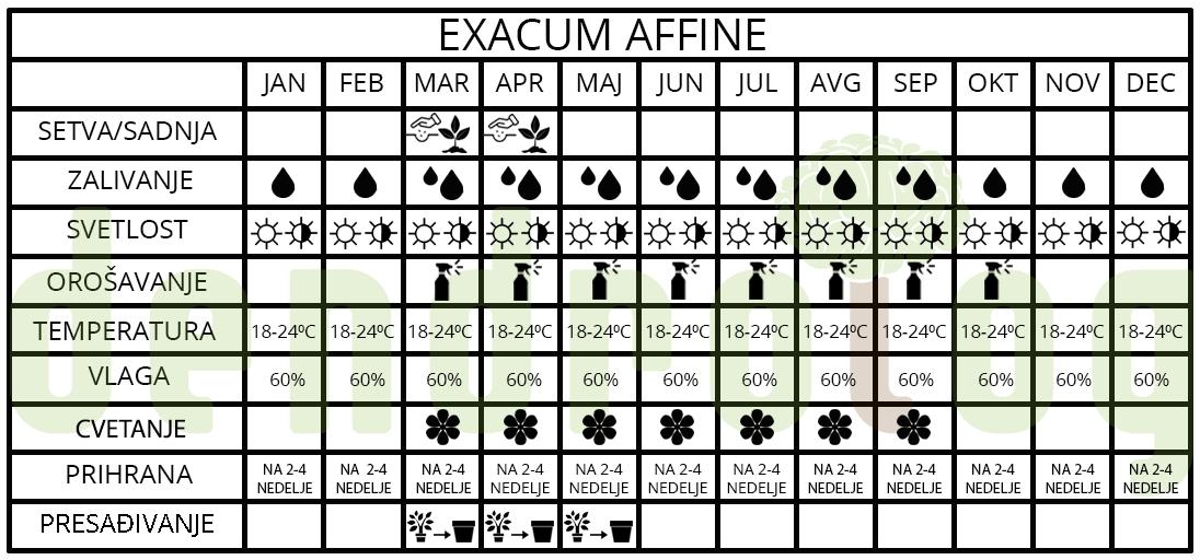 exacum affine t