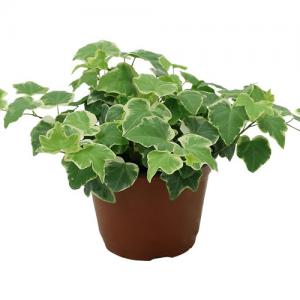 Kako biljke utiču na raspoloženje Bršljan dendrolog