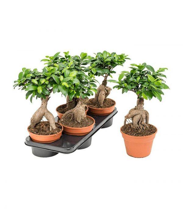 Ficus bonsai microcarpa ginseng dendrolog