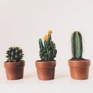 Kaktus Dendrolog