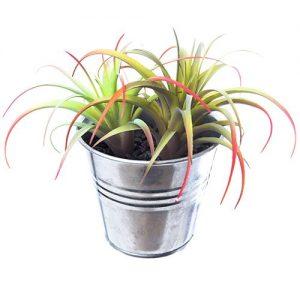 Tillandsia dendrolog air plants