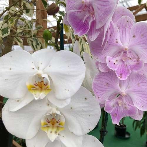 Botritis-kod-phalaenopsis-orhideje-dendrolog
