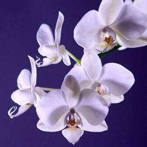 kako da vase orhideje budu zdrave i srecne dendrolog
