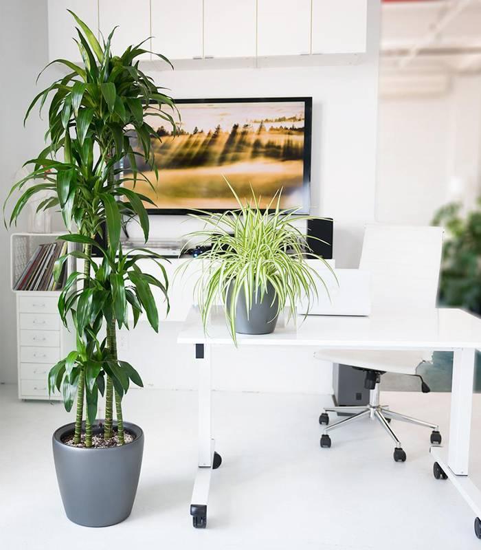 5-biljaka-za-kancelarijski-prostor-dendrolog