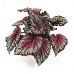 Begonia Rex Dendrolog
