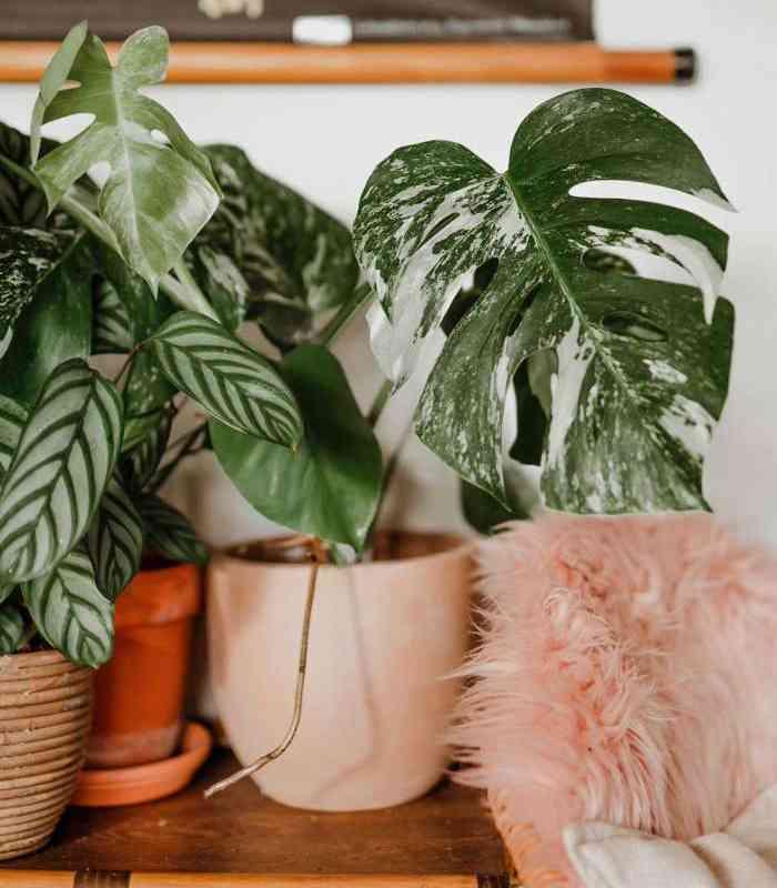 Zašto su sobne biljke skupe? Dendrolog