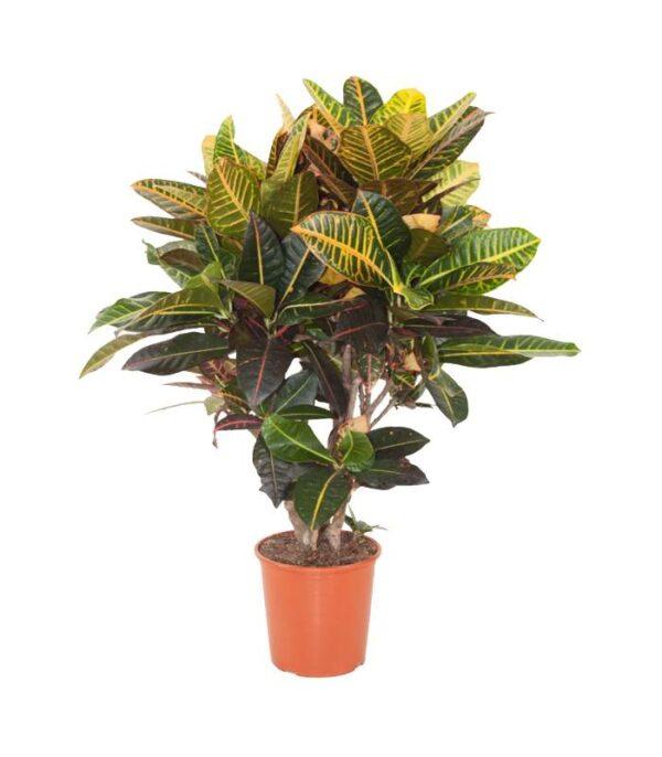 Codiaeum variegatum Kroton Dendrolog