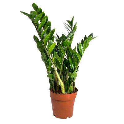 Zamioculcas zamiifolia 35cm Dendrolog